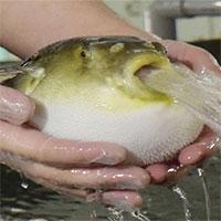 Một công ty Nhật Bản nuôi thành công cá nóc hổ không có độc