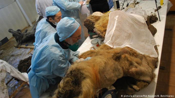 Nhân tế bào từ voi ma mút đã xuất hiện ở nơi ngày nay là miền bắc nước Nga, khoảng 28.000 năm trước.