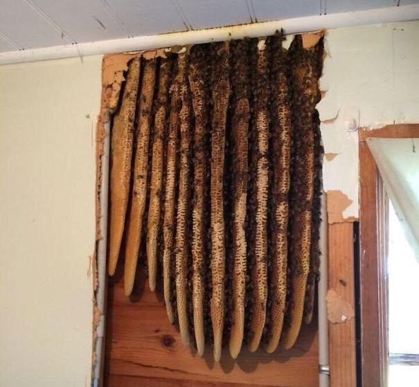Những chiếc tổ ong bên trong một ngôi nhà bỏ hoang.