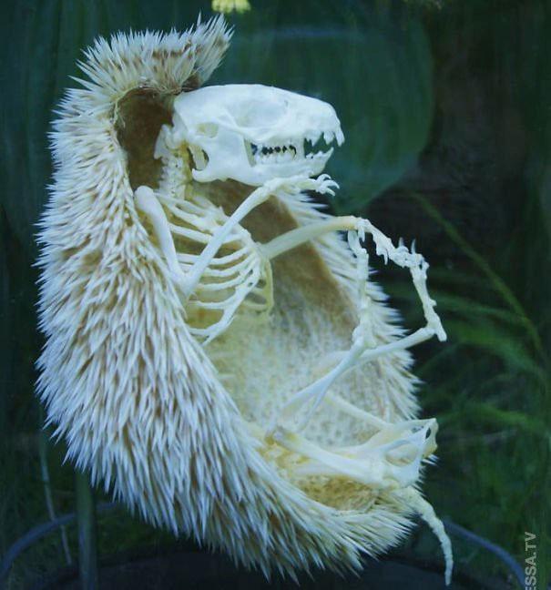 Một bộ xương nhím đẹp hoàn hảo và còn nguyên bộ lông.