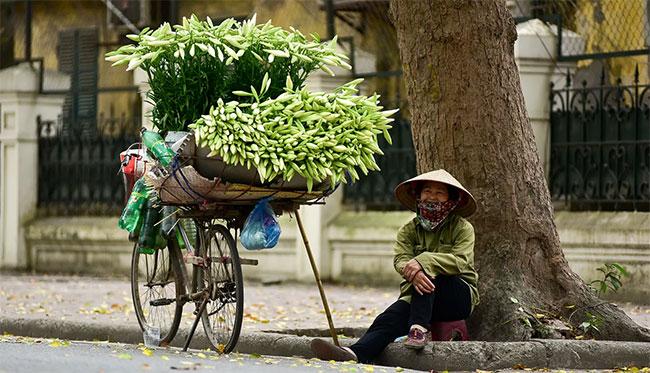 Ở Hà Nội, loa kèn thường được trồng ở Tây Tựu, Quảng Bá, Nhật Tân…