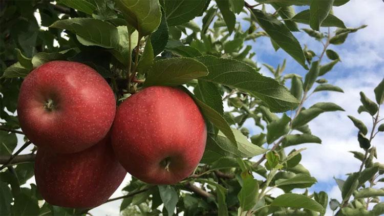 Chất oxy hóa trong táo có lợi ích chống lại việc thoái hóa như đục thủy tinh thể gây ra.