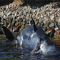 Nuốt 22kg rác nhựa, cá nhà táng mẹ chết khi chưa kịp sinh con