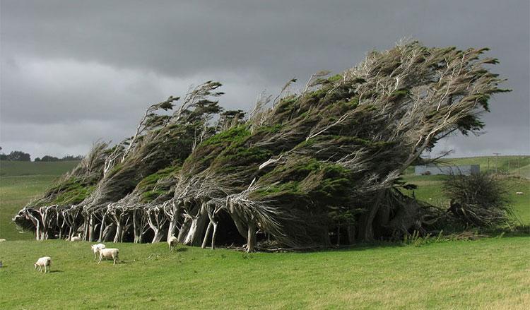 Cây bão táp ở Slope Point, phía Nam New Zealand