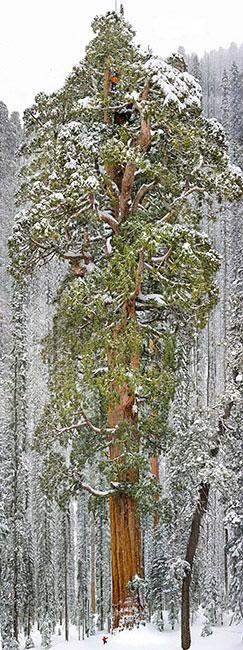 Cây cù tùng khổng lồ ở vườn quốc gia Sequoia, bang California, Mỹ