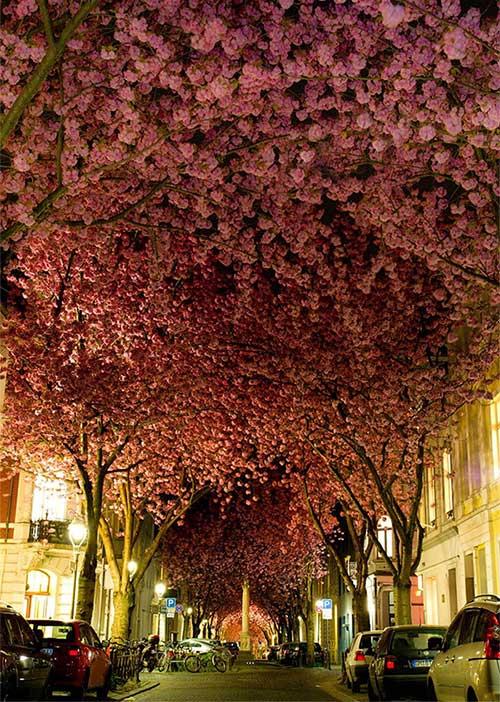 Cây hoa anh đào ở thành phố Bonn, Đức
