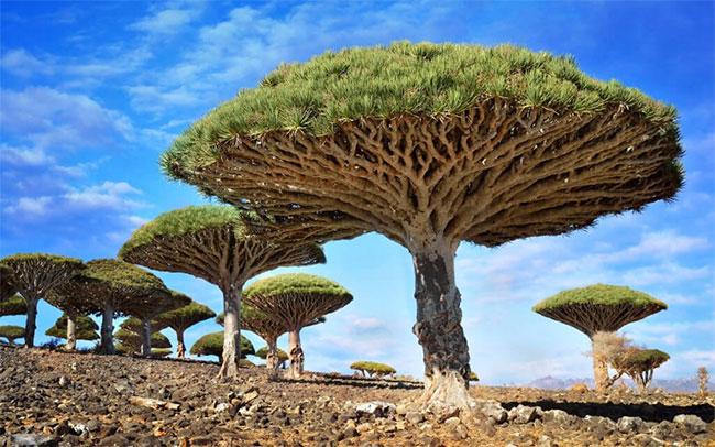 Cây máu rồng (Dragonblood tree)mọc trên quần đảo Socotra, Yemen