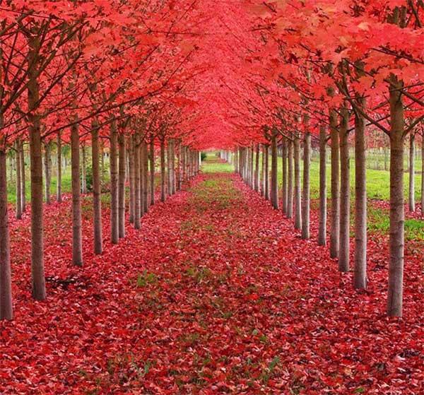 Rừng cây phong đỏ rực lá ở St. Louis, thuộc tiểu bang Oregon, Mỹ