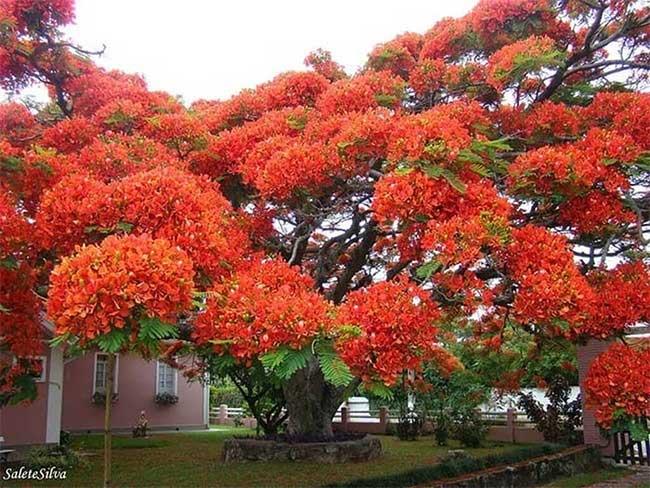 Cây phượng đỏ ở Brazil