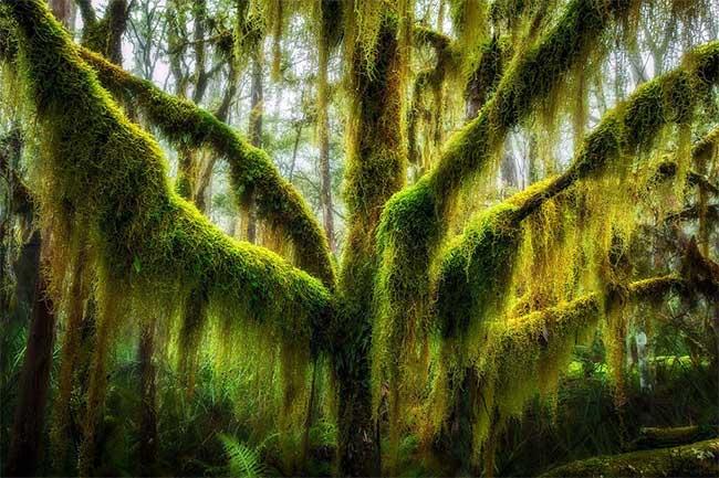 Cây sồi Nam cực phủ đầy rêu ở bang Oregon, Mỹ