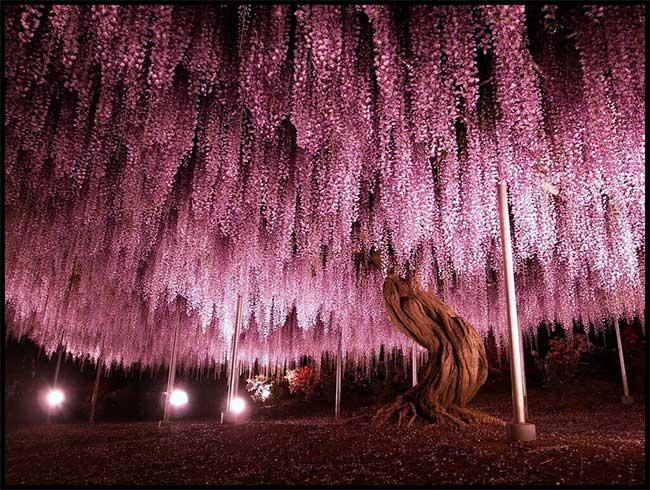 Cây tử đằng 144 tuổi tại công viên Ashikaga, Tochigi, Nhật Bản