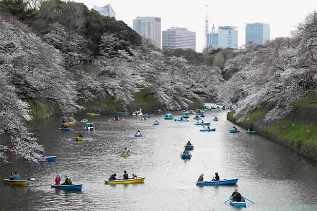 Người dân địa phương đi ngắm hoa dọc theo Chidorigafuchi Moat của Tokyo