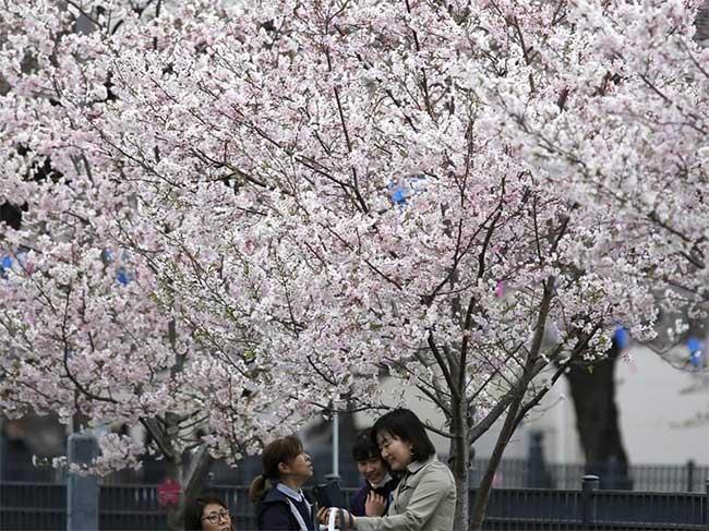 Cùng chụp ảnh bên dưới hoa anh đào ở Yokohama