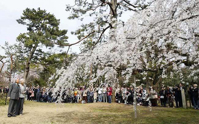 Nhật Hoàng Akihito và Hoàng hậu Michiko cùng đi ngắm hoa anh đào ở Kyoto