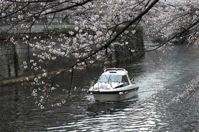 Đi thuyền dưới hoa anh đào dọc theo sông Meguro của Tokyo
