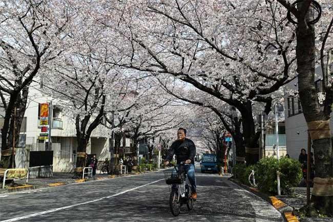 Đạp xe dưới hoa anh đào trên đường phố ở Tokyo
