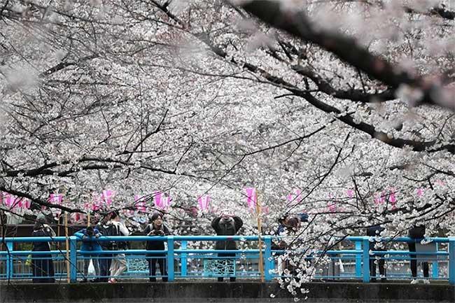 Ngắm hoa anh đào trên sông Meguro...