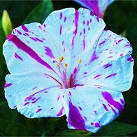 10 loài hoa nở đêm đẹp nhất thế giới