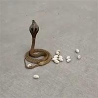 Kỳ lạ khoảnh khắc rắn hổ mang đẻ trứng giữa đường đông người qua lại