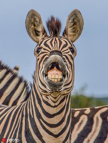 Ngược lại với những động vật khác, con ngựa vằn vui tính này chủ động cười thật tươi khi nhìn thấy nhiếp ảnh gia đang tác nghiệp