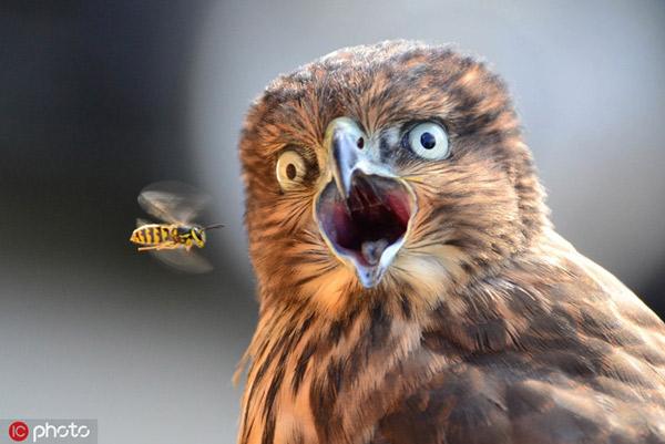 Khoảnh khắc một con chim ưng hoảng hồn khi thấy ong bay qua được một nhiếp ảnh gia chụp lại rất đúng thời điểm