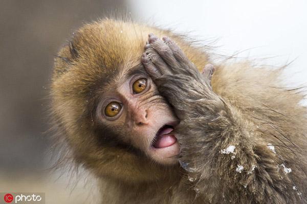 """Cảm thấy khó tin khi đang tắm mà cũng bị chụp ảnh, một con khỉ tuyết ở Nhật Bản bày ra vẻ mặt """"không thể tin nổi"""""""