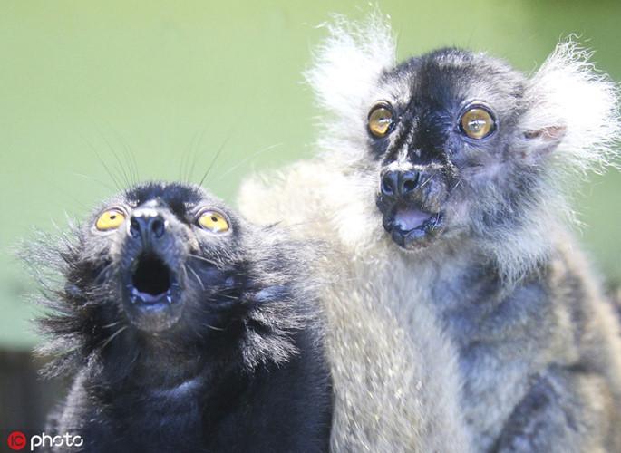 Khỉ nhỏ tỏ vẻ ngạc nhiên tột độ khi thấy nhiều ống kính hướng về phía mình, chụp ảnh liên tục