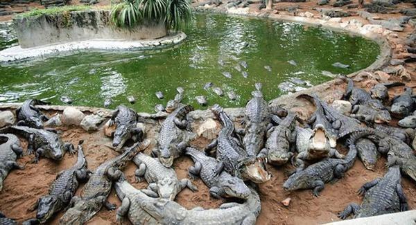 Cá sấu chết vì sốc nhạc