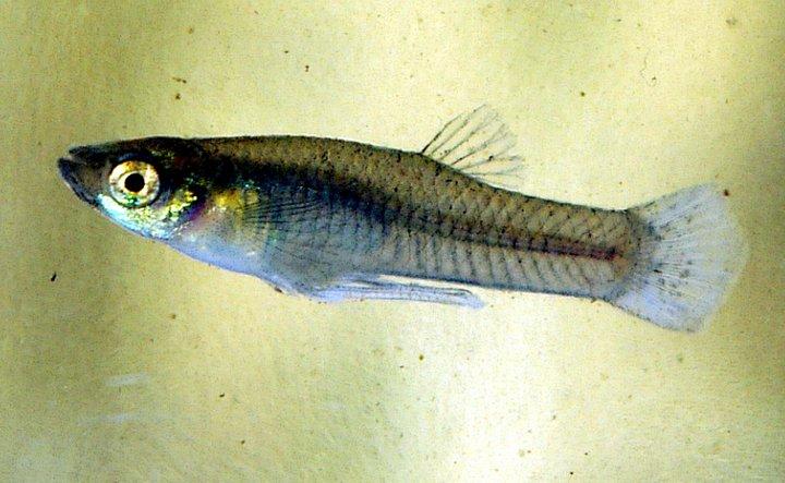 Loài cá ăn muỗi (mosquitofish)