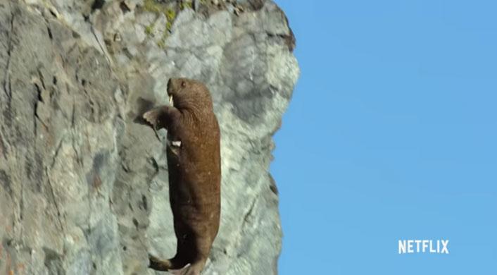 Hãi mã phi thân từ vách đá dốc để trở về biển.