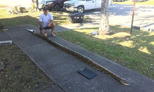 Ông John Hammond, thợ săn chuyên nghiệp tại Florida, bên cạnh xác con trăn dài 18 feet (5,45 m)