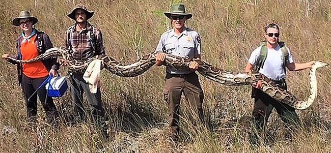 Con trăn Miến Điện dài 17 foot được bắt vào đầu tháng 4 ở Khu Bảo tồn thiên nhiên Tiger Creek
