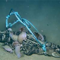 Bọ khổng lồ xé xác cá sấu dưới đáy biển sâu 2.000 mét