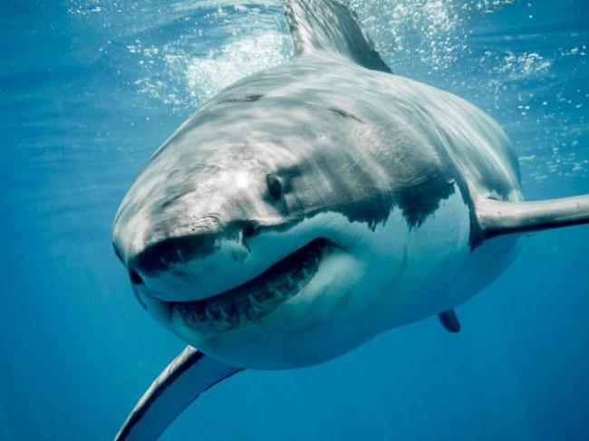 Số người tử vong do bò nhiều hơn do cá mập