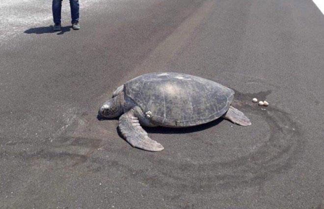 Chú rùa biển xanh trở lại đúng chỗ cũ trên đất liền để sinh con nhưng nó đã biến thành một đường băng.