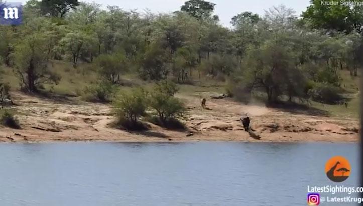 Con trâu chạy xuống nước để trốn sư tử nhưng lại bị cá sấu tấn công.