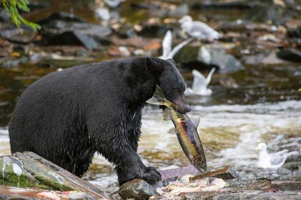 Gấu đen sau khi tỉnh giấc ngủ đông thường lờ đờ vài tuần đến một tháng và chủ động không đi xa