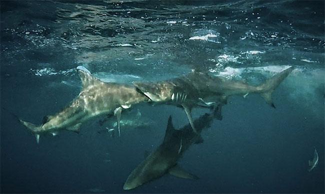 Hướng dẫn viên Mia Vorster ghi lại cuộc đụng độ giữa hai con cá mập ngoài khơi Nam Phi.