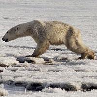 Biến đổi khí hậu khiến gấu trắng Bắc Cực đi lạc 700km kiếm thức ăn