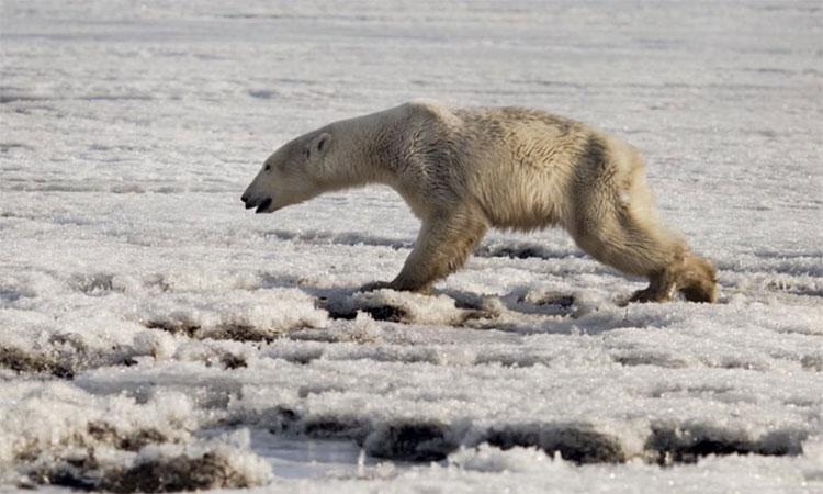 Con gấu trắng Bắc Cực đi xa nhà tới 700km.