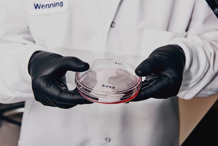 Các nhà nghiên cứu đang lên kế hoạch ghép cật lợn cho người trưởng thành và ghép tim cho trẻ sơ sinh.
