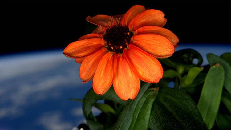 Một bông hoa thuộc chi Cúc ngũ sắc đang bung nở bên cạnh một ô cửa sổ ở ISS.