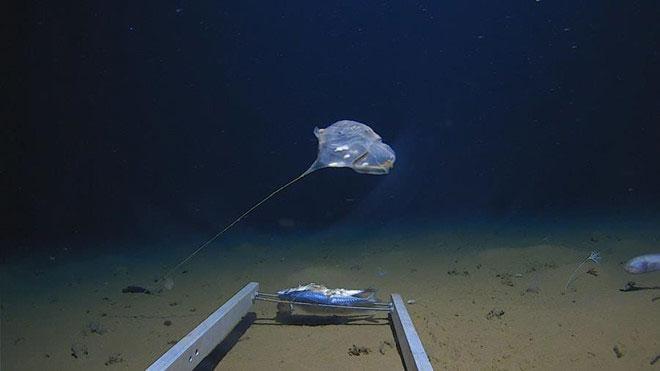 Loài sinh vật kỳ lạ được các nhà khoa học phát hiện dưới đáy Ấn Độ Dương.