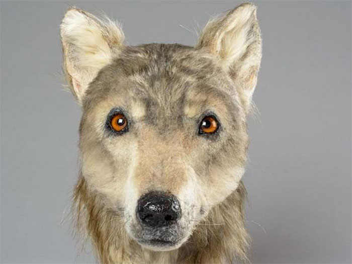 Hình ảnh con chó 4.000 năm tuổi được phục dựng.