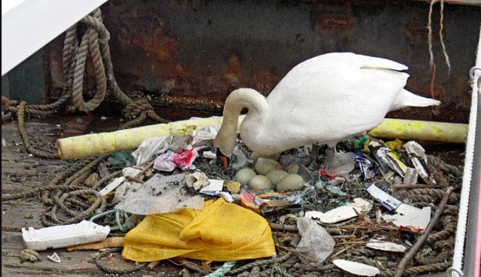 Thiên nga dùng rác làm tổ