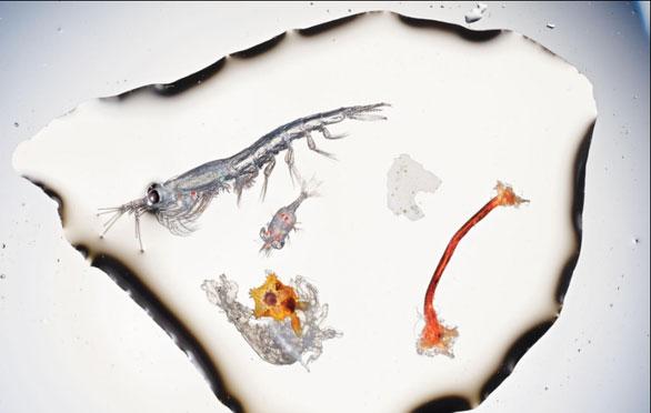 Các mảnh rác có thể chứa vi khuẩn gây hại cho tôm con khi vừa mới thành hình