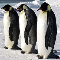 Hàng ngàn chim cánh cụt hoàng đế ở Nam Cực biến mất sau một đêm