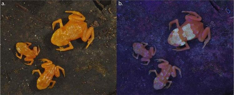 Hình ảnh loài ếch kỳ lạ ở Brazil.