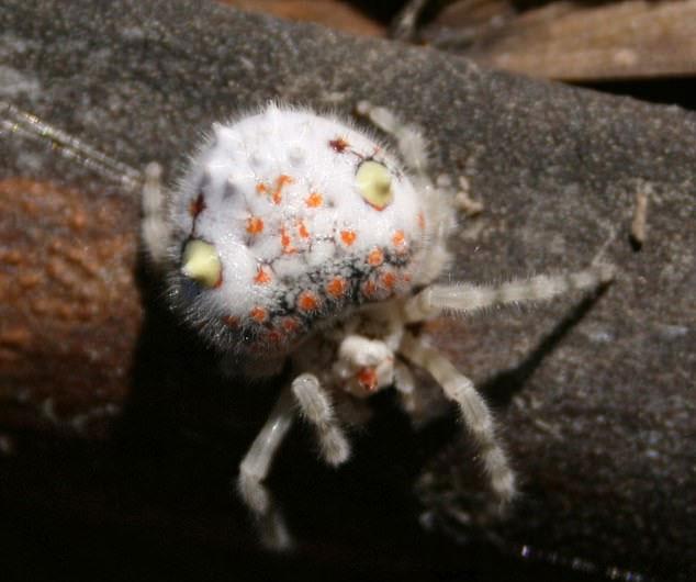 """Con nhện này được gọi là """"nhện lộng lẫy"""""""