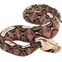 Video: Loài rắn có liều lượng độc cao nhất thế giới thích di chuyển như một con sâu róm